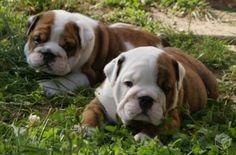 Cachorro – Diversos tipos de amigos de estimação O cão Buldog inglês: eles são muito baixinhos, fortes, com a cara de bravos, mas bem dóceis como os poodles com seus donos.