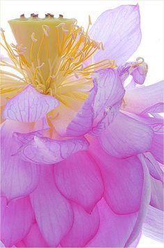 purple Lotus Flower petals - IMG_C223 by Bahman Farzad, via Flickr