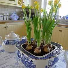 daffodils in blue and white china - so pretty Always works.......start in November, before Thanksgiving for Christmas blooms