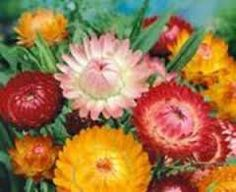 Strawflower Tall Double Mix 500 Seeds Garden Seeds 2u *** Be sure to check out this awesome product.