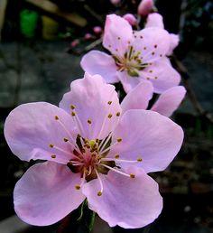 Peach Blossoms Peach Tattoo, Blue Rose Tattoos, Peach Trees, Peach Blossoms, Fruit Flowers, Flowers Nature, Amazing Flowers, Beautiful Flowers, Cherry Blossom Art