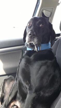 El incómodo intento de este perro por tratar de no parecer aterrorizado en el carro. | Los 61 momentos más incómodos en la historia de los perros