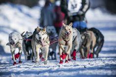 And They're Off! Sled-Dog Teams Dash into Alaska's Iditarod - NBC News.com
