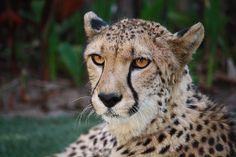 Johari, the female cheetah, sits pretty during an animal encounter at the Safari Park.