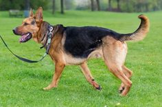 Benson came to us as a stray who had completed his time in the pound. Benson is playful and loves nothing better than to play with balls. German Shepherd Pictures, German Shepherd Rescue, German Shepherds, Beagle Mix, West Yorkshire, Cane Corso, Newborn Care, Foster Care, Beautiful Dogs