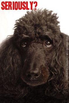 That Poodle look Does your Poodles look sometimes question you?