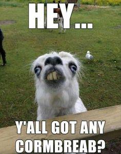Hey, y'all got any Cornbread? Funny llama photo and meme @ashersocrates