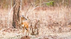 Meet the muntjac — the most interesting deer in the world. It's the size of a dog, it's the oldest deer around, it has antlers but fights with tusks, and it even barks loudly at things that threaten it. But its most interesting quality is this — it gets by with fewer chromosomes than any other mammal on Earth. #science #biology