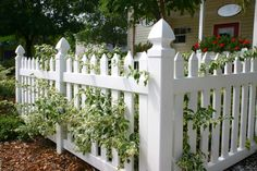 A vinyl white picket fence in front of a small cottage with white rimmed leaves and wood chip bedding.
