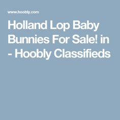 Holland Lop Baby Bunnies For Sale! in - Hoobly Classifieds