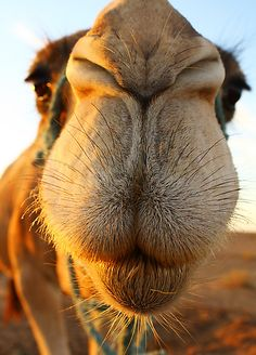 This one's not crooked!  . || Candid camel by Anne Kingston