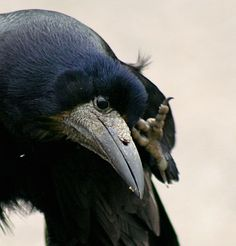 Crow <3 family oriented birds I want one they are super smart and sweet