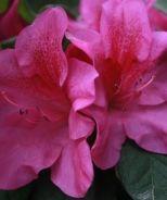 Bloom-A-Thon Lavender Reblooming Azalea by Monrovia    Evergreen, Partial Sun, blooms Spring - Fall, 3' x 3'