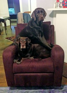 Chocolate Labs on Furniture | Funny Dog Photos | Silly Labs
