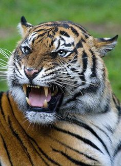 Ill-tempered Tigress