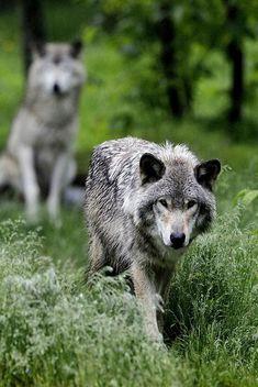 l´esprit loup   grey wolf