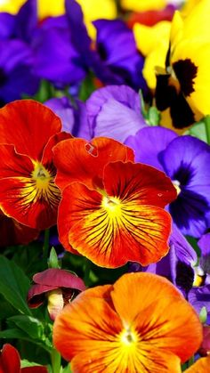 Bright and beautiful pansies