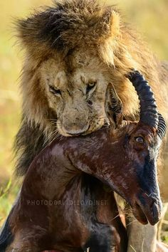 Hungry Lion This somewhat distressing image shows a hungry lion with the remains of its prey. Photograph by David Lloyd. Nature Animals, Animals And Pets, Giant Animals, Afrique Art, Dangerous Animals, Lion Pictures, Lion Art, Cat Boarding, Mundo Animal