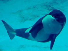 Cute Whales, Killer Whales, Sea World, Bingo, Animals, Japan, Female, Orcas, Drawing Drawing