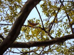 Abre-asa-de-cabeça-cinza (Mionectes rufiventris) fotografado no Parque Burle Marx em São Paulo/SP, em Abril/14.