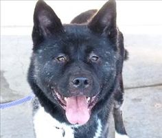 Emmie Ice is a beautiful Akita Mix looking for a new forever home in Portland, OR! See her page for adoption information!