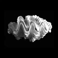 Giant Frilled Clam Seashell Tridacna Squamosa Photography By Frank ...