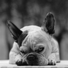 So funny my frenchie makes this exact face when she is mad at me