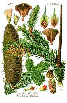 Пи́хта (лат. Ábies) — род голосеменных растений семейства Сосновые (Pinaceae). Характерная особенность пихт — шишки у них, в отличие от других хвойных, растут вверх, а хвоя плоская.