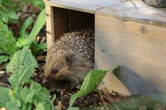 Video: Help hedgehogs by making them a feeding station where they can eat in safety, away from predators. Short video DIY guide from BBC Gardeners' World Magazine.