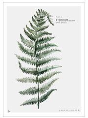 Plate 1: Fern Print (30x40cm)