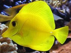 Zebrasoma flavescens  (Yellow Tang)