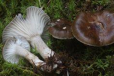 Mustavahakas on herkkujen herkku Stuffed Mushrooms, Vegetables, Stuff Mushrooms, Vegetable Recipes, Veggies