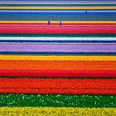 Gorgeous tulip fields outside of Alkmaar in North Holland