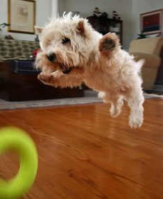 looks more like an attacking Westie! ... Flying Westie - how can you not smile at this?