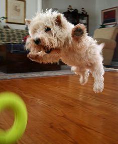 Flying Westie