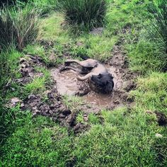 Dog Playing In Mud Pug In The Mud News Bubblews You Dirty - 28 times letting your dog play in the mud wasnt a good idea