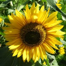 How to Grow Sunflowers from Seed - West Coast Seeds.