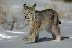 An poster sized print, approx mm) (other products available) - Siberian Lynx<br>Single adult walking in snow<br>Montana, USA - Image supplied by RSPCA - poster sized print mm) made in the UK Lynx Kitten, Lynx Lynx, Bobcat Pictures, Animals And Pets, Cute Animals, Wild Animals, Baby Animals, Eurasian Lynx, Draw