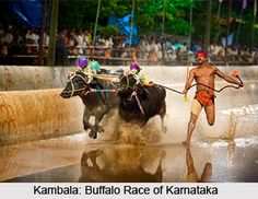 Kambala is the buffalo race that takes place before the harvesting season in coastal Karnataka. For more visit the page. #indiansports #traditionalsports #ruralsports