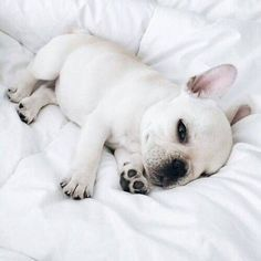 White French bulldog lying on bed