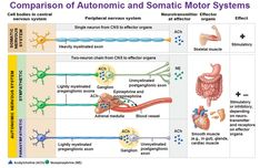 comparison of autonomic and somatic motor systems cell bodies axons effect neurotransmittor ach ne