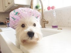 "114 Me gusta, 6 comentarios - Milo & Lily • Westies (@milo_and_lily) en Instagram: ""Milo: A bath !?! In the kitchen sink!?! Outrageous! I don't need a bath. I smell fine! What's…"""