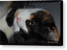 Cat Art Pet Portrait Animal Cute Pose Pet Product Stock Shot Nature Available On Greeting Cards For Cat Lovers Canvas Print Metal Frame Poster Print Wood Print Phone Cases Mugs Tote Bags Pouches And T Shirts Canvas Print featuring the photograph Calli The Cute by Marcus Dagan