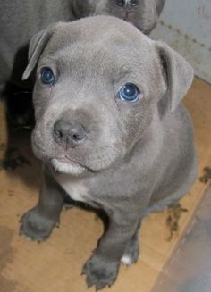 Blue Grey Staffy - definitely my next dog ;)