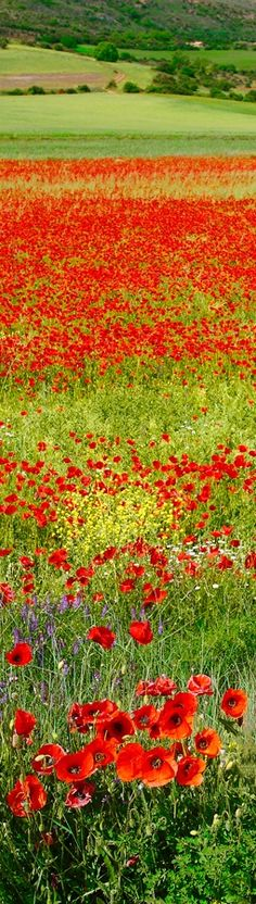 Wild Flowers Inspiration : Red spring by Andrés López Moreno on - Flowers.tn - Leading Flowers Magazine, Daily Beautiful flowers for all occasions Images Lindas, Wild Flowers, Beautiful Flowers, Beautiful World, Beautiful Places, Burning Flowers, Spring Landscape, Red Poppies, Belle Photo