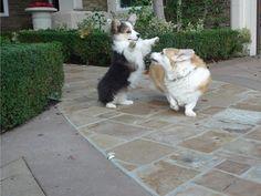 Puff shows his big sister who's the littlest boss. Roar Puff, roar!    Fluffy corgi puppy. Z