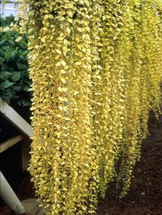 vinca minor 'illumination' -fast growing evergreen groundcover shade or sun, blue flowers