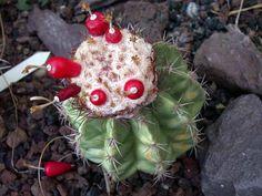 Melocactus-caesius