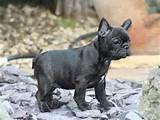 french bulldog , black puppy