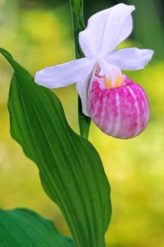 how to grow lady slippers from seed